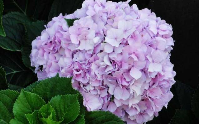 八仙花种养管理技术
