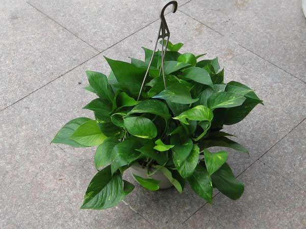 20140117125138325 花卉技术:绿萝吊兰的栽种方法