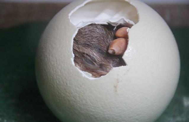 鸵鸟蛋孵化技术