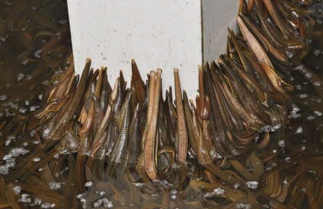 水蛭养殖能赚钱吗?