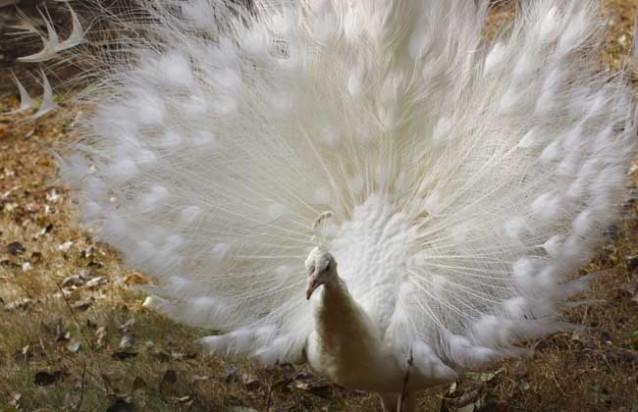 人工饲养孔雀犯法吗?