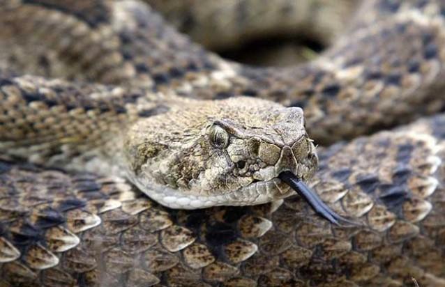 响尾蛇死后咬人的秘密