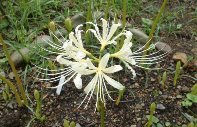 夏水仙的栽种技术方法
