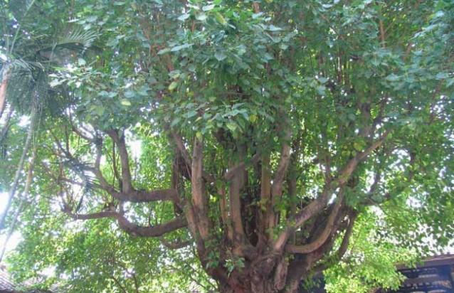 20160626093931739 (花木研学)菩提树是什么树?